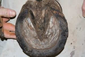 Horse hoof with wall separation