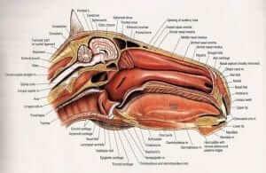 Horse Nasal Anatomy