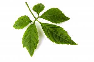 Gynostemma, Gymnema, Banaba Leaf In Metabolic Horse