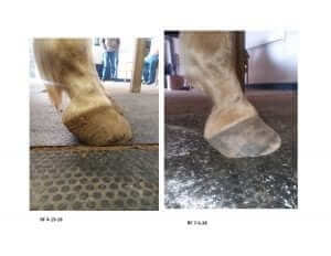 Laminitic Horse Before and After