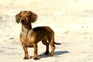 Joint Health Prone Small Breed Dog