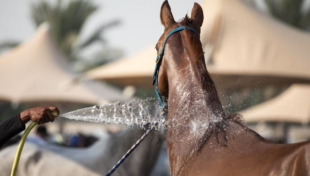 The Hot Horse; Anhidrosis and Attitude